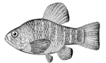 Cyprinidon variegatus, the Sheepshead minnow. Masthead picture for the name of the original blog where Minnow entries appeared. Picture: US National Oceanic and Atmospheric Administration